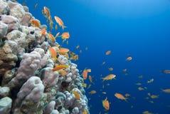 Χρυσά τροπικά ψάρια και κοραλλιογενής ύφαλος Στοκ Εικόνες