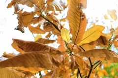 Χρυσά φύλλα του φθινοπώρου - Macea, Arad, Ρουμανία Στοκ Εικόνες