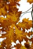 Χρυσά φύλλα του φθινοπώρου - Macea, Arad, Ρουμανία Στοκ Εικόνα