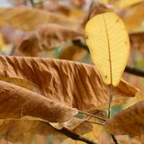 Χρυσά φύλλα του φθινοπώρου - Macea, Arad, Ρουμανία Στοκ φωτογραφία με δικαίωμα ελεύθερης χρήσης