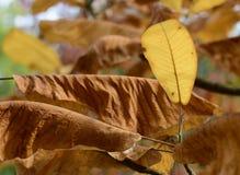 Χρυσά φύλλα του φθινοπώρου - Macea, Arad, Ρουμανία Στοκ φωτογραφίες με δικαίωμα ελεύθερης χρήσης