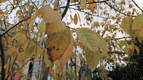 Χρυσά φύλλα φθινοπώρου που ταλαντεύονται τα κίτρινα φύλλα στο δέντρο στο πάρκο φθινοπώρου Πτώση Ζωηρόχρωμο πάρκο πόλεων φθινοπώρο φιλμ μικρού μήκους
