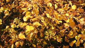 Χρυσά φύλλα φθινοπώρου που φυσούν σε έναν ευγενή αέρα αερακιού απόθεμα βίντεο