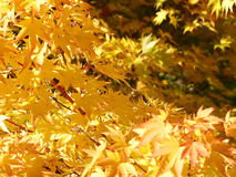χρυσά φύλλα Στοκ Φωτογραφίες