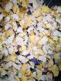 Χρυσά φύλλα ginkgo που καλύπτουν πλήρως το έδαφος στοκ φωτογραφίες