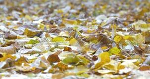 Χρυσά φύλλα δέντρων στο έδαφος το φθινόπωρο απόθεμα βίντεο