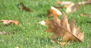 Χρυσά φύλλα δέντρων στο έδαφος το φθινόπωρο φιλμ μικρού μήκους