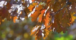 Χρυσά φύλλα δέντρων το φθινόπωρο απόθεμα βίντεο