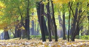 Χρυσά φύλλα δέντρων το φθινόπωρο φιλμ μικρού μήκους