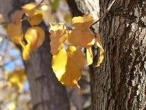 Χρυσά φύλλα της πτώσης Στοκ Εικόνες