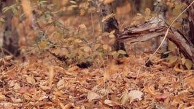 Χρυσά φύλλα φθινοπώρου που αφορούν το δασικό έδαφος σε σε αργή κίνηση Υπόβαθρο με τα δέντρα στη μαλακή εστίαση φθινόπωρο ζωηρόχρω απόθεμα βίντεο