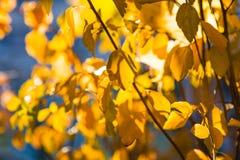 Χρυσά φύλλα φθινοπώρου στρέψτε μαλακό Στοκ φωτογραφία με δικαίωμα ελεύθερης χρήσης