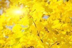 χρυσά φύλλα φθινοπώρου Στοκ εικόνα με δικαίωμα ελεύθερης χρήσης