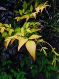 χρυσά φύλλα Στοκ φωτογραφίες με δικαίωμα ελεύθερης χρήσης