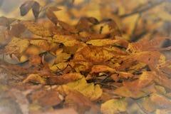χρυσά φύλλα στοκ εικόνες