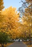 Χρυσά φύλλα ginkgo στοκ εικόνα