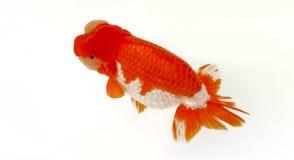 Χρυσά ψάρια με το άσπρο υπόβαθρο στοκ εικόνες