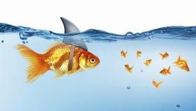 Χρυσά ψάρια με το κτύπημα καρχαριών Μικτά μέσα στοκ εικόνες