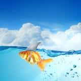 Χρυσά ψάρια με το κτύπημα καρχαριών στοκ εικόνες με δικαίωμα ελεύθερης χρήσης
