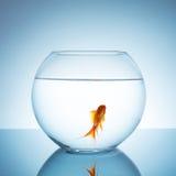 Χρυσά ψάρια σε ένα fishbowl Στοκ Εικόνες