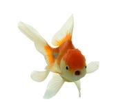 Χρυσά ψάρια στοκ φωτογραφία