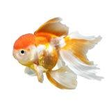 Χρυσά ψάρια στοκ εικόνα