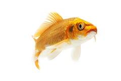 Χρυσά ψάρια Koi στοκ εικόνα με δικαίωμα ελεύθερης χρήσης