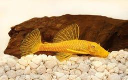 Χρυσά albino γατόψαρων pleco Ancistrus αρσενικά ψάρια ενυδρείων τρίχα-μύτης του γλυκού νερού Στοκ Φωτογραφία