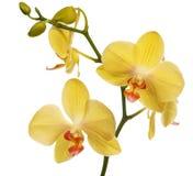 Χρυσά orchid λουλούδια που απομονώνονται στο λευκό Στοκ Εικόνες