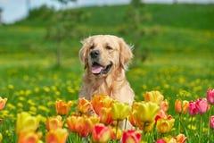 Χρυσά Retriever και λουλούδια Στοκ εικόνα με δικαίωμα ελεύθερης χρήσης