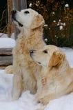 Χρυσά Retriever σκυλιά στο χιόνι στοκ εικόνες