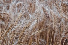Χρυσά spikelets του σίτου στον αγροτικό τομέα την ηλιόλουστη ημέρα Στοκ Φωτογραφία