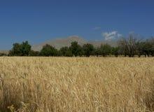 χρυσά wheaties Στοκ φωτογραφία με δικαίωμα ελεύθερης χρήσης
