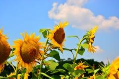 Χρυσές αντανακλάσεις στην ανατολή - ηλίανθοι και μέλισσες Στοκ φωτογραφίες με δικαίωμα ελεύθερης χρήσης