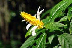 χρυσές γαρίδες φυτών Στοκ εικόνες με δικαίωμα ελεύθερης χρήσης