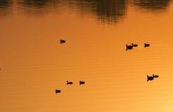 Χρυσές νερό και πάπιες Στοκ φωτογραφία με δικαίωμα ελεύθερης χρήσης