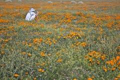 Χρυσές παπαρούνα και σκιά Καλιφόρνιας στοκ εικόνες