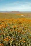 Χρυσές παπαρούνες Καλιφόρνιας και κίτρινα λογικά λουλούδια στην υψηλή έρημο νότιας Καλιφόρνιας Στοκ φωτογραφία με δικαίωμα ελεύθερης χρήσης