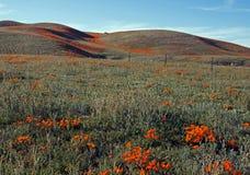 Χρυσές παπαρούνες Καλιφόρνιας και κίτρινα λογικά λουλούδια στην υψηλή έρημο νότιας Καλιφόρνιας Στοκ εικόνα με δικαίωμα ελεύθερης χρήσης