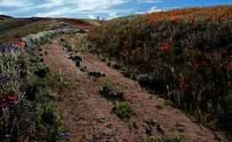Χρυσές παπαρούνες Καλιφόρνιας και πορφυρή φασκομηλιά στην υψηλή έρημο νότιας Καλιφόρνιας Στοκ Εικόνα