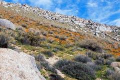 Χρυσές παπαρούνες Καλιφόρνιας κοντά στη λίμνη Isabella Στοκ Εικόνες
