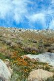 Χρυσές παπαρούνες Καλιφόρνιας κοντά στη λίμνη Isabella Στοκ Φωτογραφία