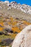 Χρυσές παπαρούνες Καλιφόρνιας κοντά στη λίμνη Isabella Στοκ Φωτογραφίες