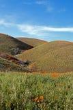 Χρυσές παπαρούνες Καλιφόρνιας στην υψηλή έρημο νότιας Καλιφόρνιας Στοκ εικόνα με δικαίωμα ελεύθερης χρήσης
