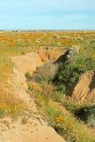 Χρυσές παπαρούνες Καλιφόρνιας στην υψηλή έρημο νότιας Καλιφόρνιας Στοκ Εικόνα