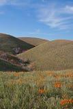 Χρυσές παπαρούνες Καλιφόρνιας στην υψηλή έρημο νότιας Καλιφόρνιας Στοκ Εικόνες