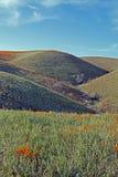 Χρυσές παπαρούνες Καλιφόρνιας στην υψηλή έρημο νότιας Καλιφόρνιας Στοκ Φωτογραφία