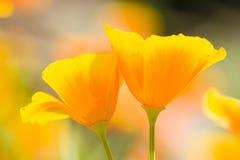 Χρυσές παπαρούνες Καλιφόρνιας Στοκ εικόνες με δικαίωμα ελεύθερης χρήσης