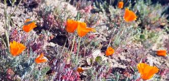 Χρυσές παπαρούνες Καλιφόρνιας Στοκ Εικόνα