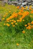 Χρυσές παπαρούνες το κρατικό λουλούδι Καλιφόρνιας στοκ εικόνα με δικαίωμα ελεύθερης χρήσης